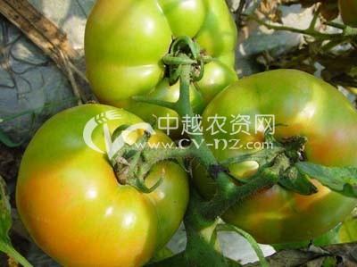 番茄绿背果