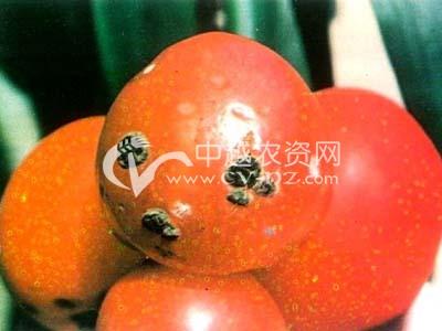番茄青霉果腐病