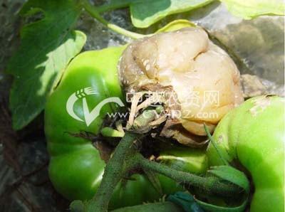 番茄酸腐病