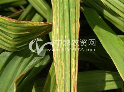 黄花菜细菌性叶斑病