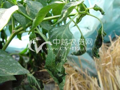 辣椒低温冷害和冻害