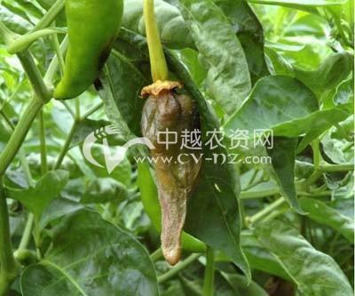 辣椒褐腐病