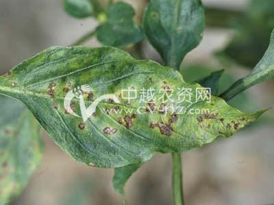 辣椒细菌性叶斑病
