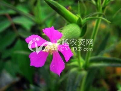麦瓶草(米瓦罐)