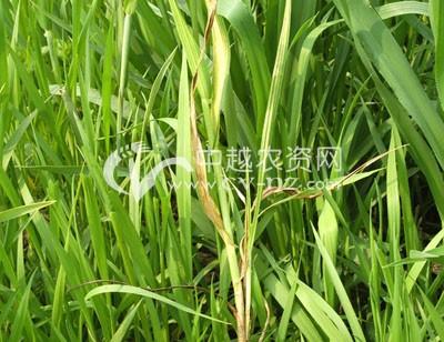大麦条纹病