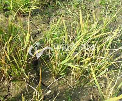 水稻矮缩病