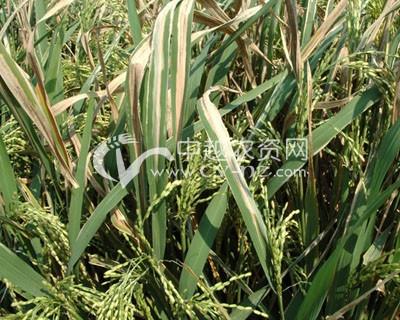 水稻白叶枯病
