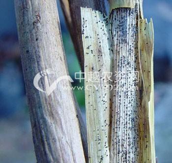 水稻菌核秆腐病