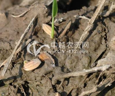 水稻烂秧病