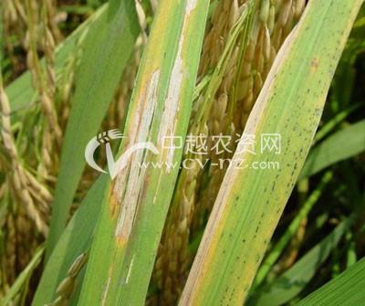 水稻条纹叶枯病