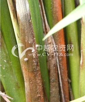 水稻纹枯病