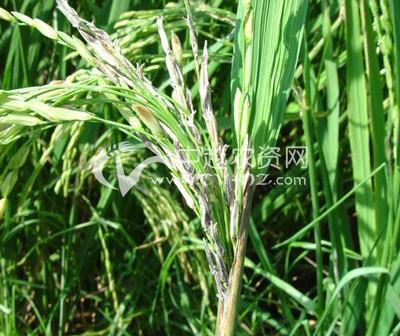 水稻细菌性谷枯病