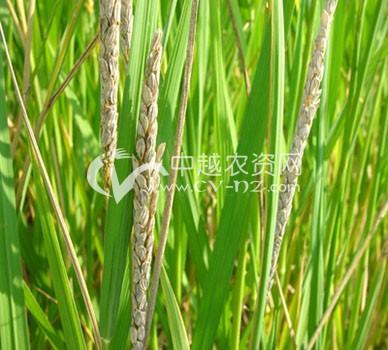 水稻一柱香病