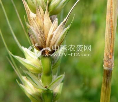 小麦赤霉病