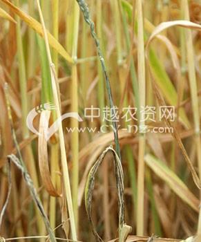 小麦秆黑粉病