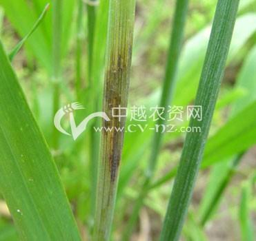 小麦秆枯病