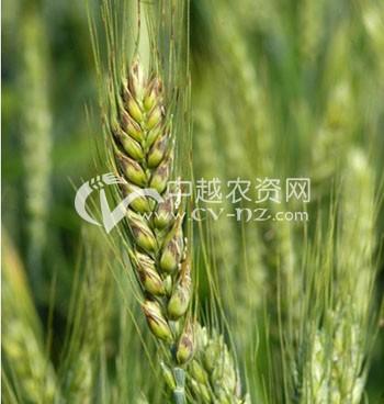 小麦黑颖病