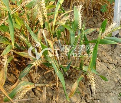 小麦黄矮病毒病