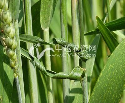 小麦卷曲病