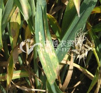 小麦炭疽病