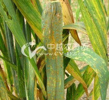 小麦叶锈病