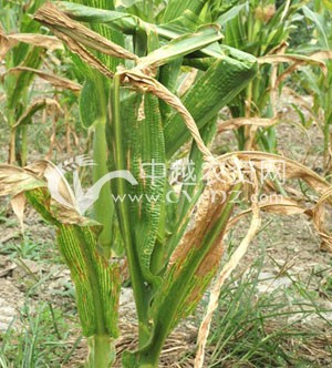 玉米矮花叶病毒病