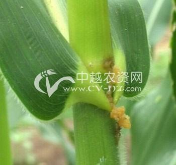 亚洲玉米螟
