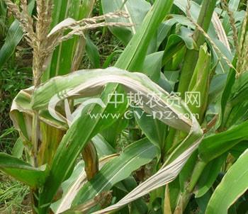 玉米霜霉病