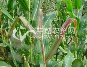 玉米叶鞘紫斑病