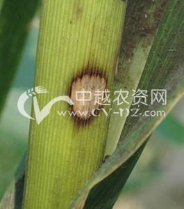 玉米圆斑病