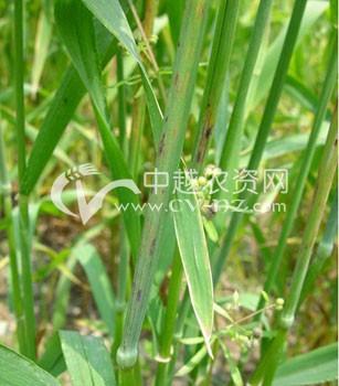 小麦角斑病