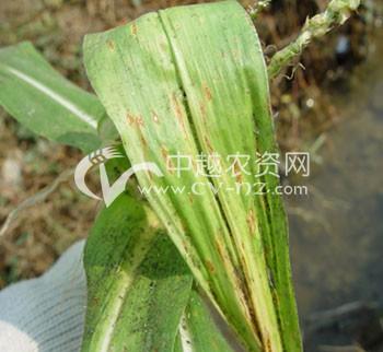 玉米格链孢叶枯病