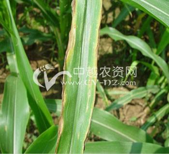 玉米灰斑病