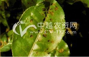 茶褐色叶斑病