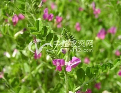 窄叶野豌豆