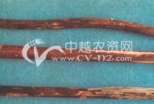 黄麻茎腐病