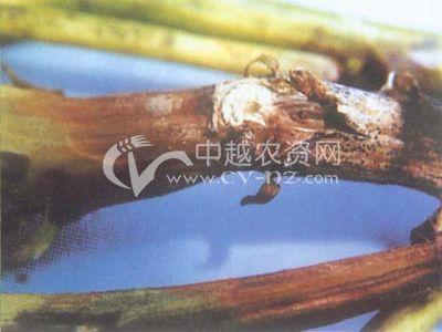豇豆茎腐病