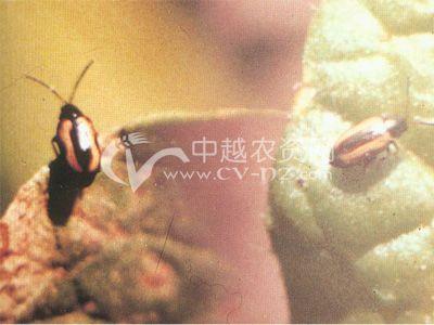 黄狭条跳甲