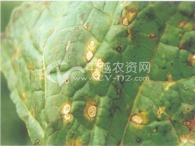 大白菜环斑病