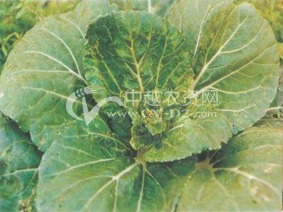 小白菜 菜薹花叶病