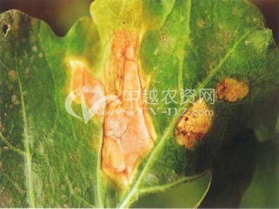 甘蓝类枝孢叶斑病