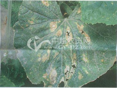 黄瓜褐斑病 - 黄瓜 - 中农在线-最具发展潜力的中国