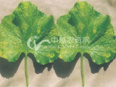 黄瓜绿粉病