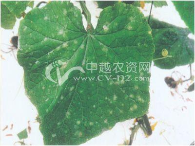 土栽培黄瓜白粉病
