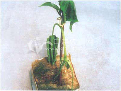 无土栽培疫病