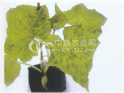 无土栽培花叶病毒病