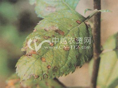 樱桃穿孔性褐斑病
