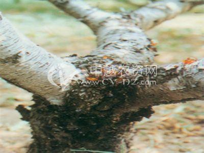 桃树流胶病