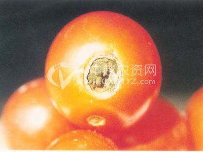 番茄枝孢果腐病