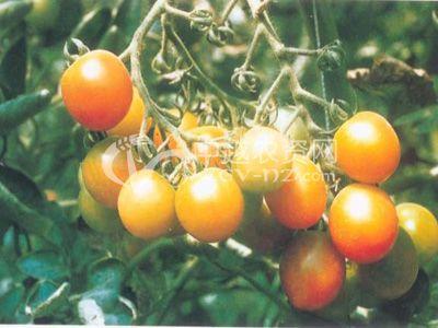 番茄果实着色不良